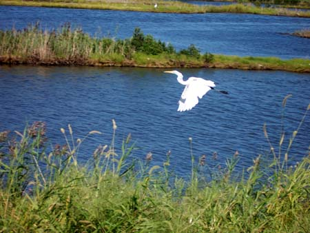 Great Egret in flight at Forsythe Wildlife Refuge near Atlantic City, NJ
