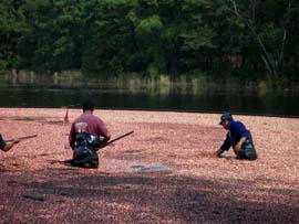 Gathering the cranberries