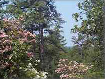 Mountain laurel blooms throughout the pine barrens in early June