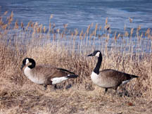 a pair of Canada Geese make their home at Forsythe National Wildlife Refuge, along with countless other waterfowl