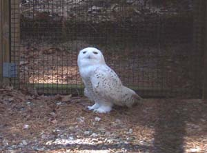 """Snowy"" the Snowy Owl lost his wing, apparently in a collision with a jet at Maguire Air Force BAse."